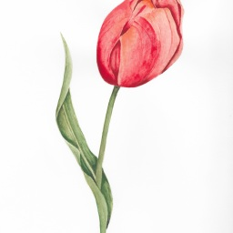 Red & Coral Tulip