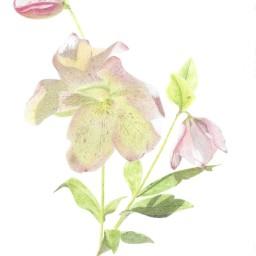 Helleborus in Bloom