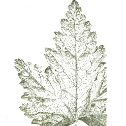 Stippled Maple Leaf
